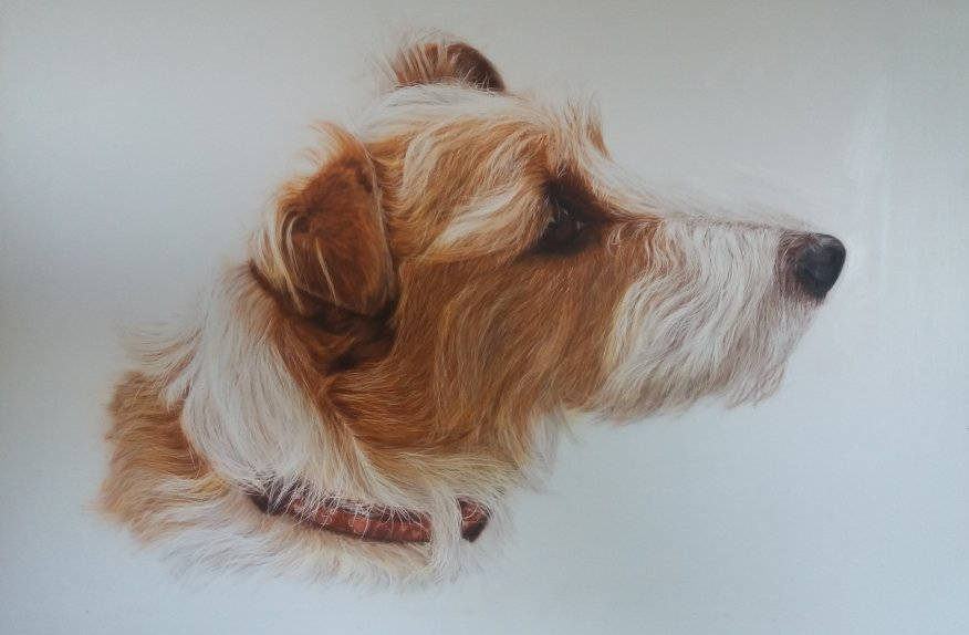 Long Haired Jack Russel